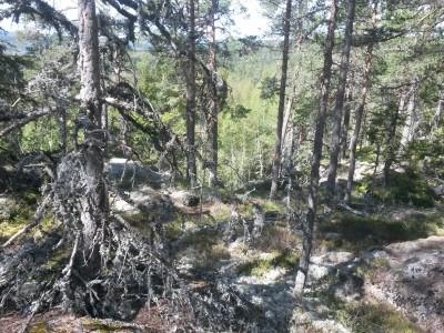 Urskogslikt på väg upp mot Matkullen