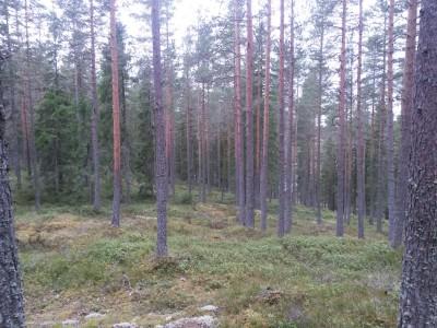 Tidvis fin och öppen skog.