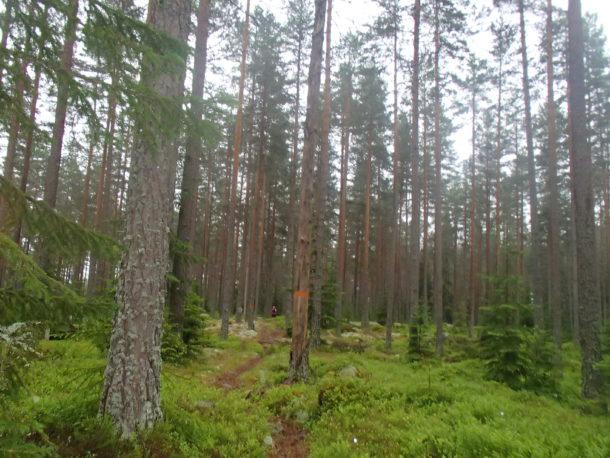 Vacker storskog